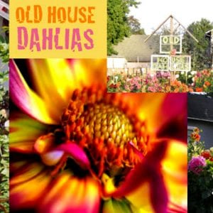 Old House Dahlias